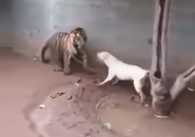 معركة النمر والكلب