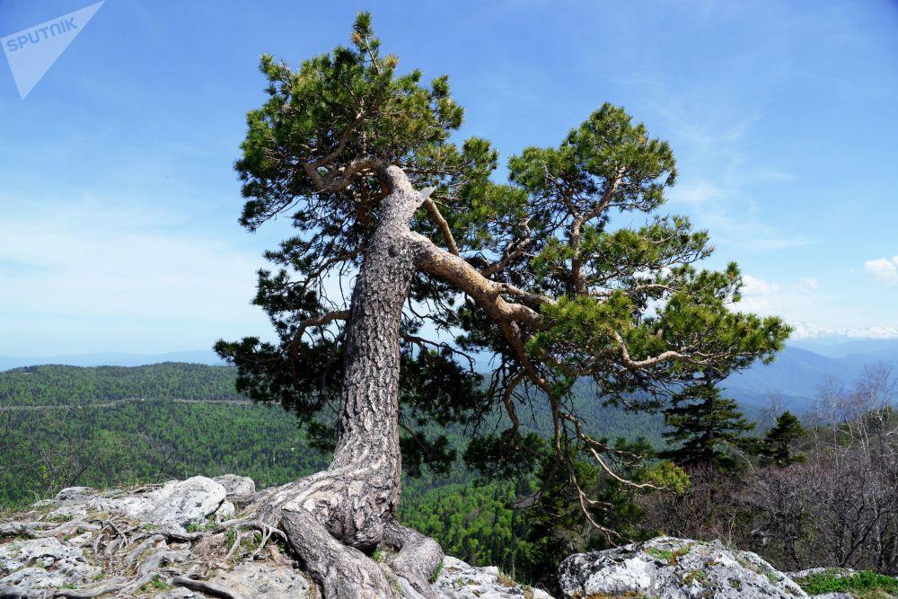 شجرة على حافة جبل في منطقة لاغو-ناكي من المحمية الطبيعية القوقازية باسم خ. غ. شابوشنيكوف