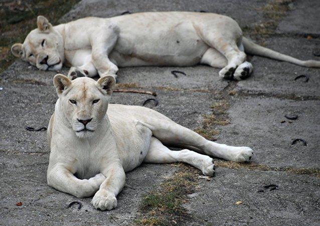 أسود بيضاء في حديقة حيوان