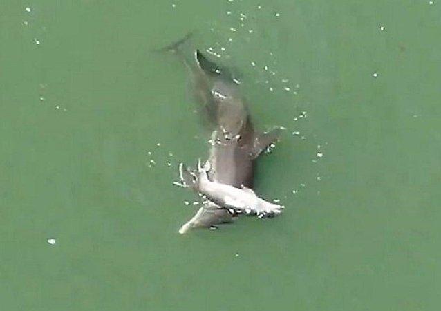 أنثى دلفين تحاول إنعاش طفلها ولكن دون جدوى