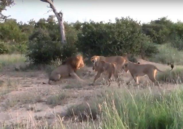 لبؤات يهاجمن أسد في جنوب أفريقيا