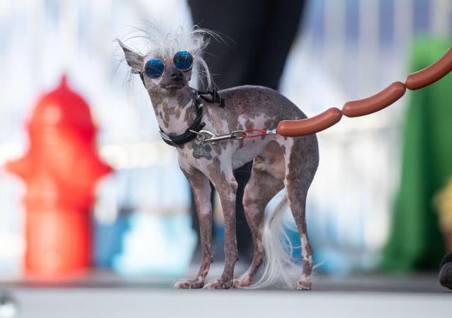 كلاب تشارك في مسابقة أقبح كلب لهذا العام، كاليفورنيا، الولايات المتحدة 21 يونيو/ حزيران 2019