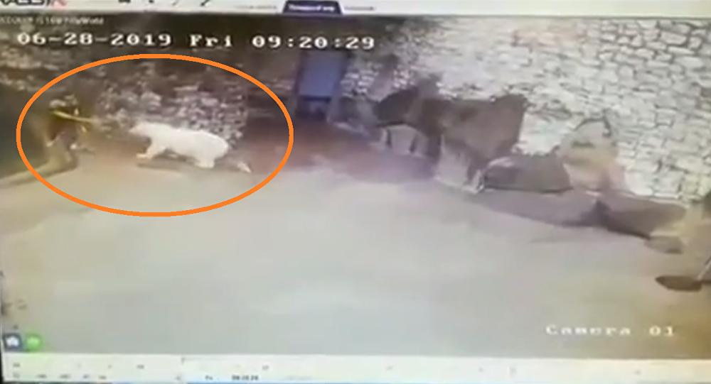 عاملة شجاعة توقف هجوم دب أبيض ضخم باستخدام مكنسة