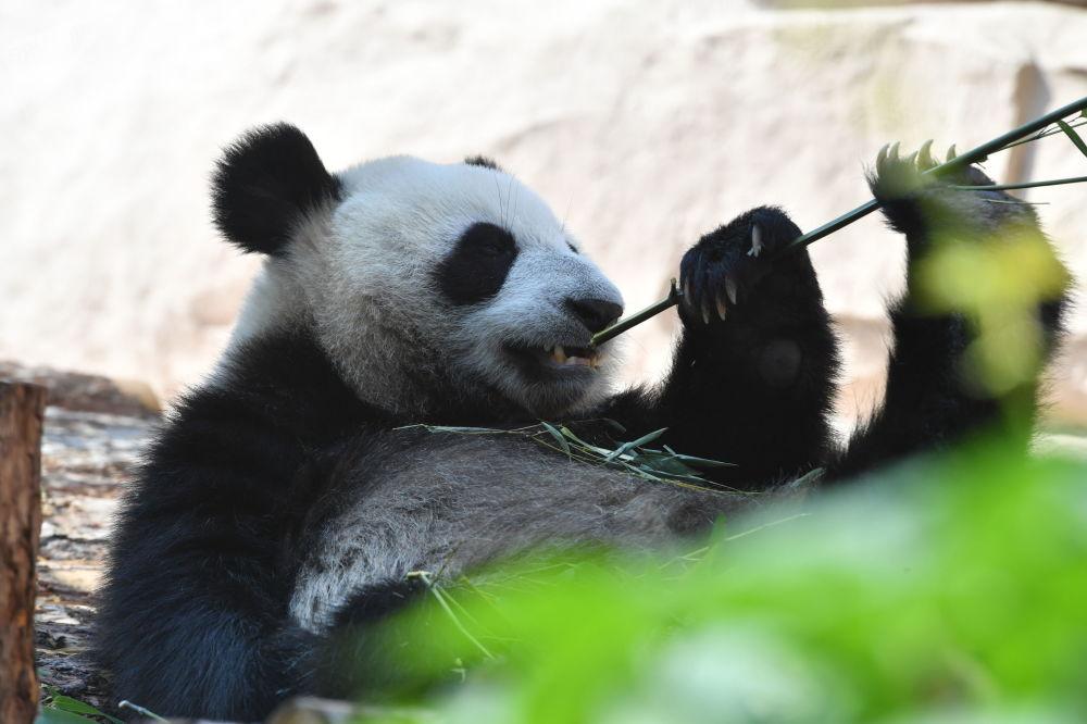 الباندا الكبيرة، إحدى دببة الباندا التي قدمتهما الصين لروسيا