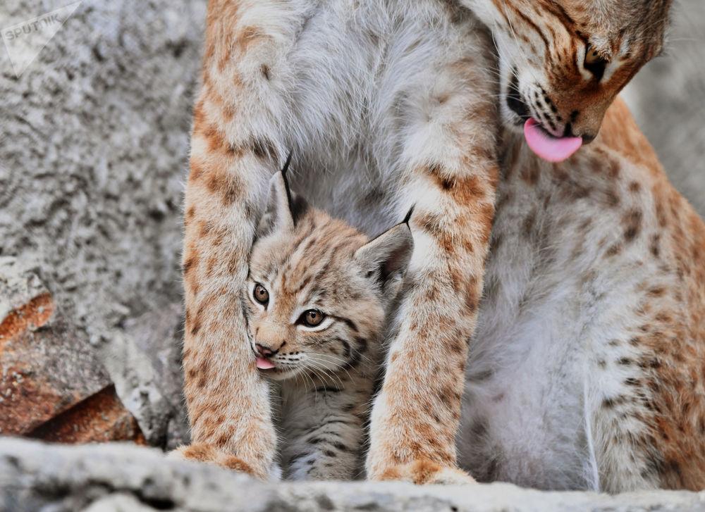 وشق من شرق سيبيريا غايكا مع أحد أشبالها، ولد في 20 مايو/ أيار، في حديقة حيوان موسكو