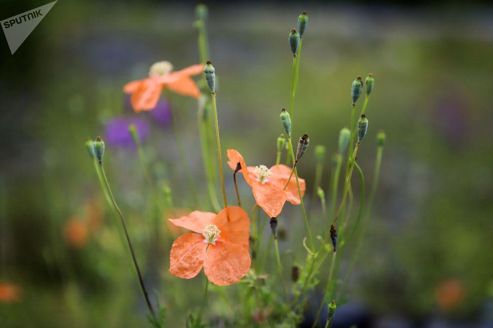 أزهار المنطقة الجبلية في وادي نهر زيمارا في جمهورية أوسيتيا الشمالية - ألانيا الروسية
