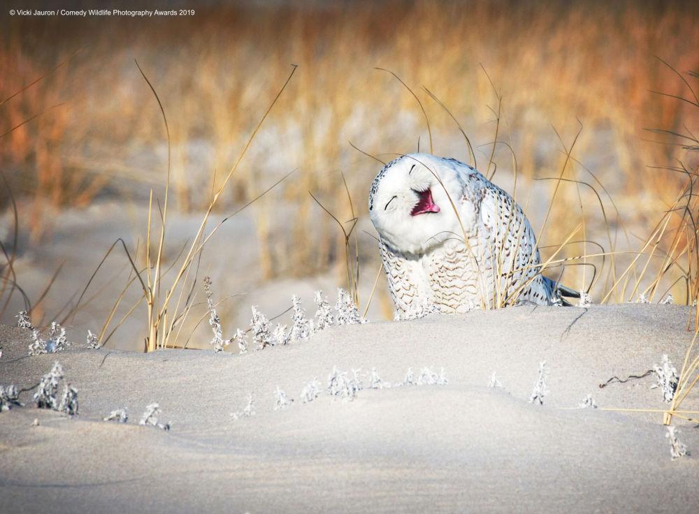 بوم ثلجي يعمل وجها جذابا لالتقاط صورة له. الحيوان: بوم ثلجي. موقع التصوير: جونز بيتش، لونغ آيلاند