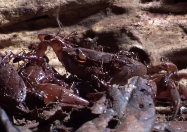 جيش من النمل يهاجمون سرطانا ويفترسونه
