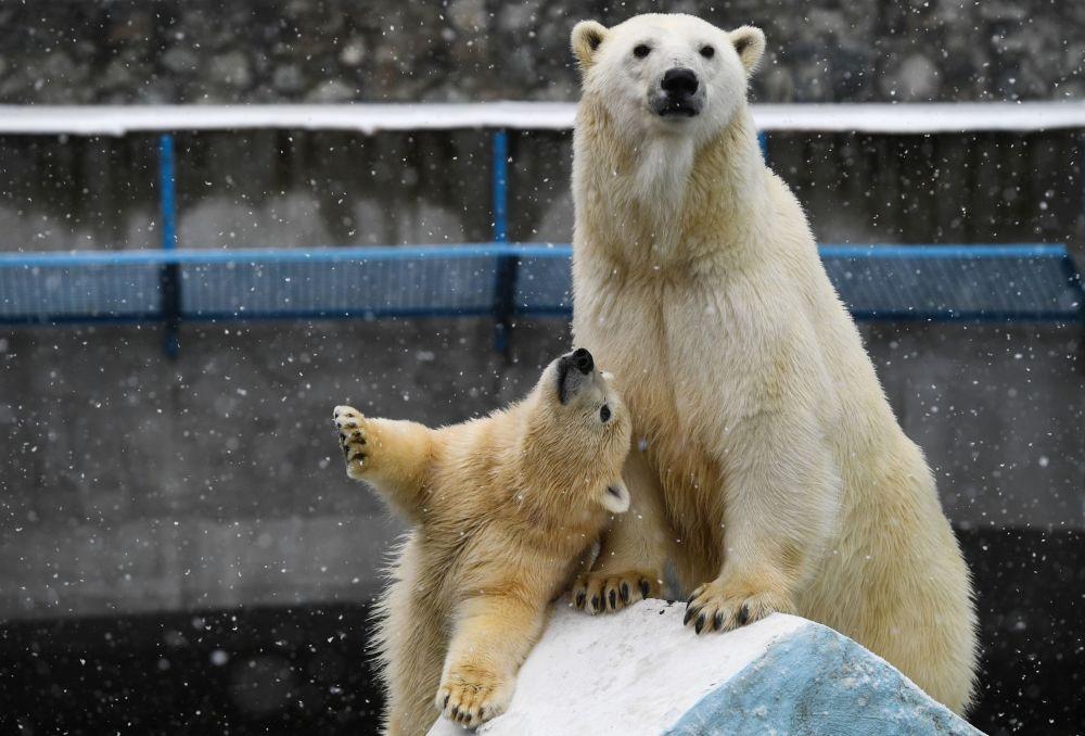 الدب القطبي غيردا و صغيرها في حديقة الحيوانات نوفوسيبيرسك الروسية، 26 أكتوبر 2019