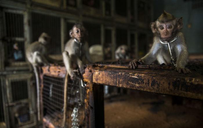 القرود تسجن سكان مدينة داخل منازلهم… فيديو
