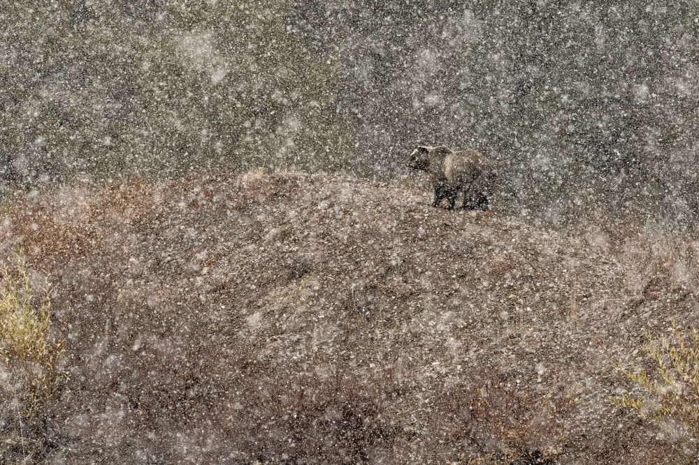 صورة بعنوان تحت الثلج، المصور الإيطالي ستيفانو كيريني، الفائز في فئة الثدييات من مسابقة مصور الطبيعة لعام 2019
