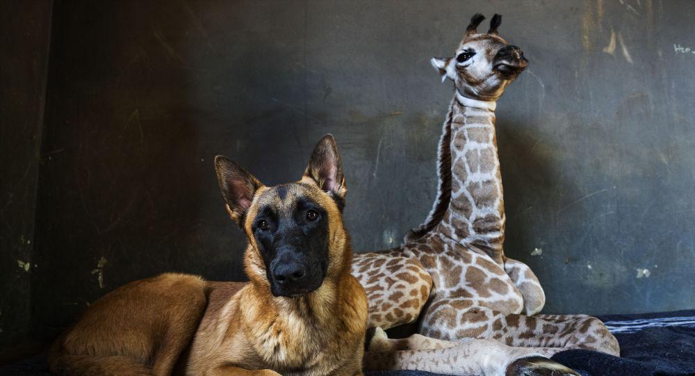 الكلب هانتر وصغير الزرافة