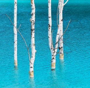 أشجار البتولا في المياه الزرقاء بالقرب من محطة الطاقة الكهربائية رقم 5 في نوفوسيبيرسك