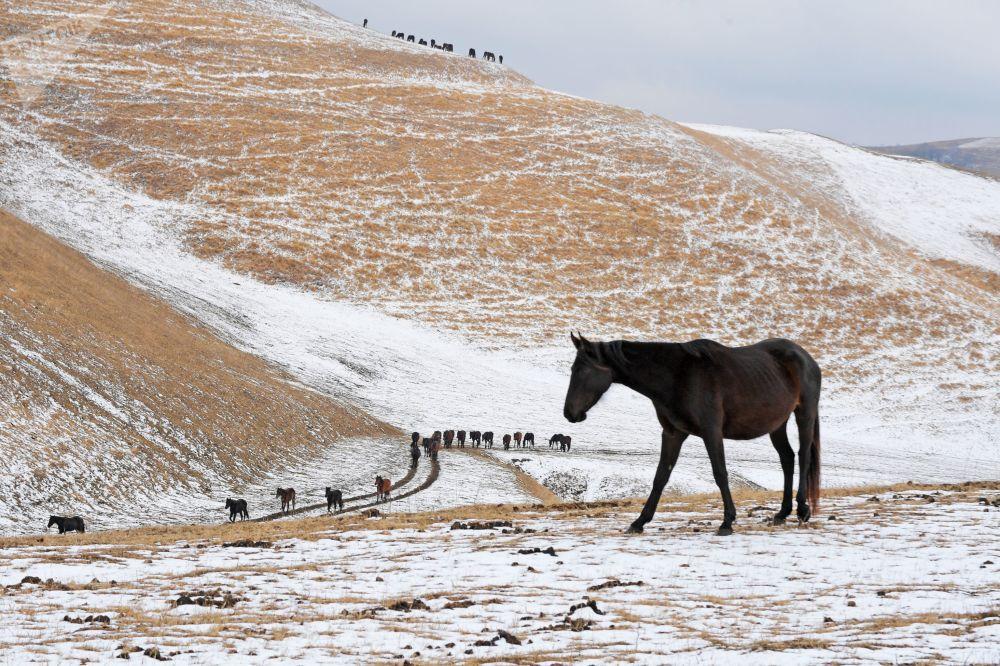 الخيول في نادي الفروسية غون في قرية كراسني كورغان