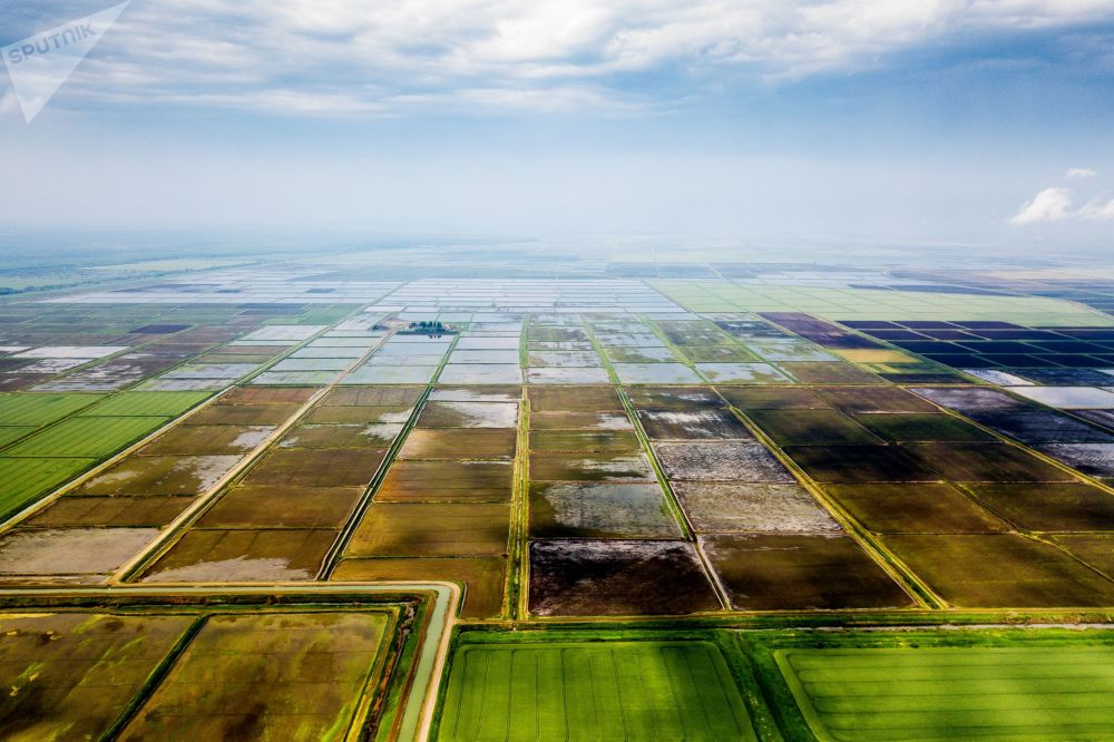 زراعة الأرز في إقليم كراسنودار الروسي