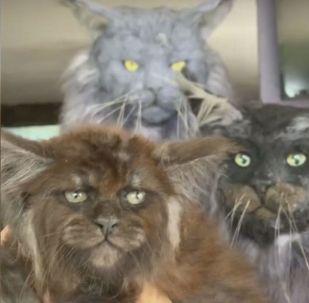 عالمة روسية تنجح في تطوير نوع جديد من القطط يشبه الإنسان