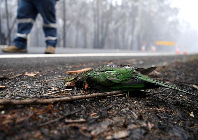 حرائق غابات أستراليا، يناير 2020