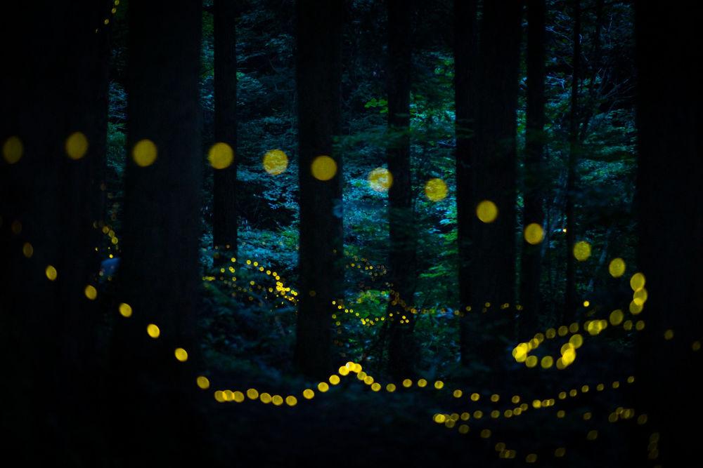 صورة بعنوان اليراعات في الغابة، من سلسلة هايمبوتارو، للمصور المحترف الياباني ماساهيرو هيرويكي، مُدرجة في القائمة القصيرة لجائزة سوني العالمية للتصوير 2020 في فئة عالم الطبيعة والحياة البرية