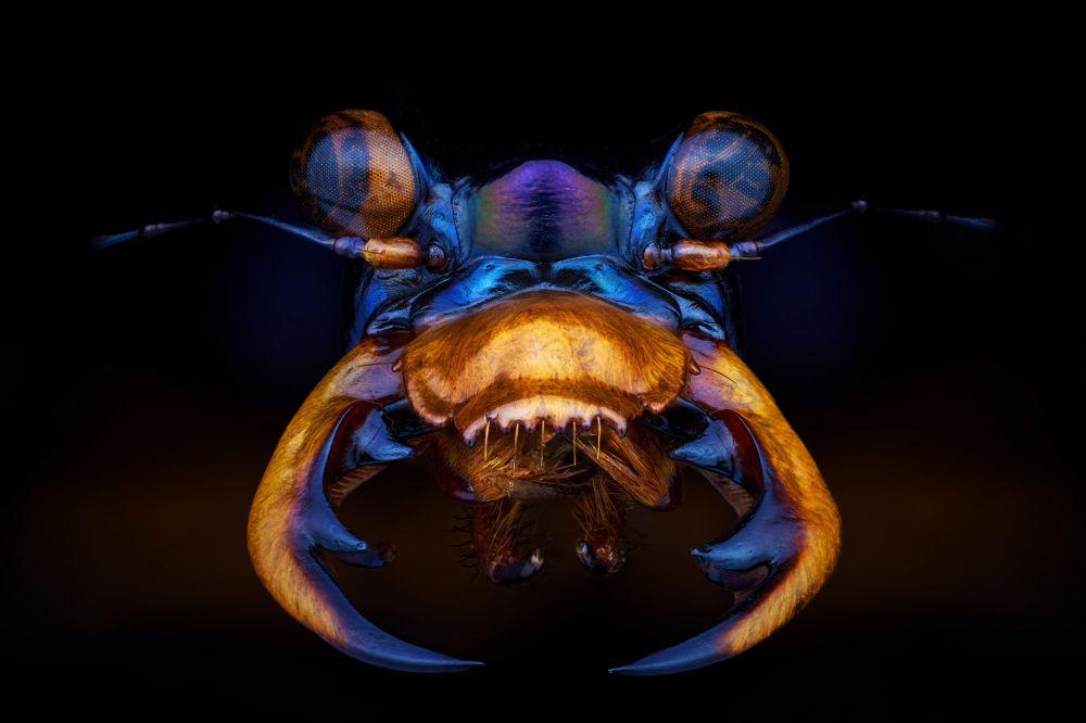 صورة بعنوان الخنفساء النمرية، من سلسلة جمال العالم الصغير، للمصور الفرنسي بيير أنكيت، مُدرجة في القائمة القصيرة لجائزة سوني العالمية للتصوير 2020 في فئة عالم الطبيعة والحياة البرية