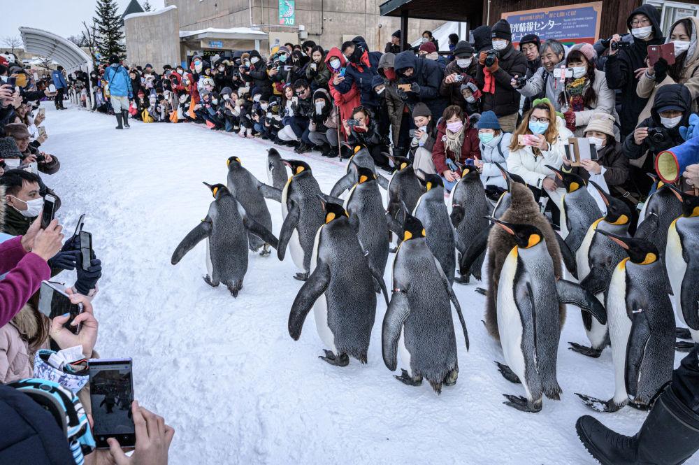 البطارقة الملوك يسيرون في حديقة أساهياما للحيوانات، اليابان 7 فبراير 2020