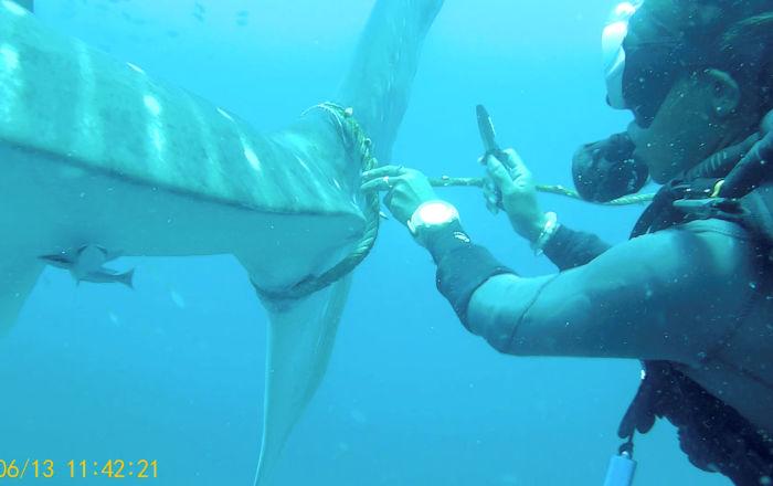 عملية إنقاذ فاشلة تحبس الأنفاس لقرش هائل… فيديو