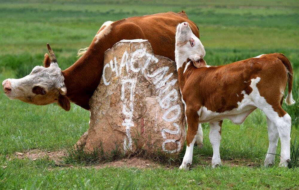 رعي الأبقار في السهوب بالقرب من قرية سوليونوأزورنويه في جمهورية خاكاسيا الروسية، 13 يوليو 2020