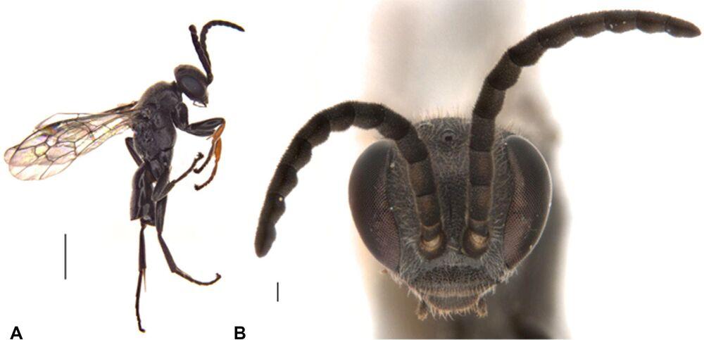الدبور العنكبوتي الذي يصطاد الرتيلاء (Epipompilus namadgi)