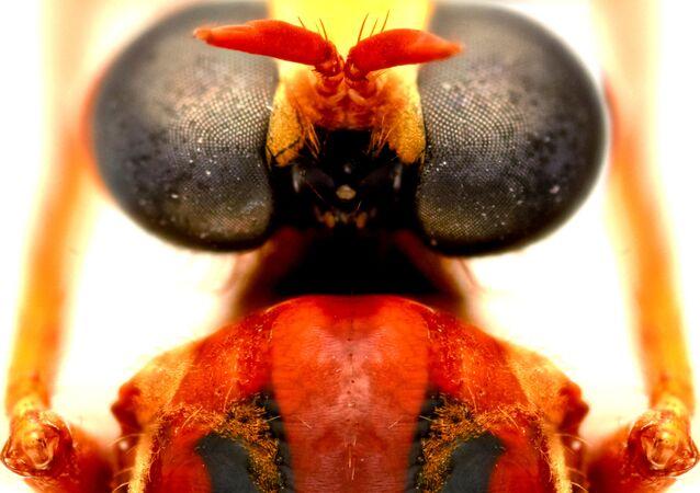 الذبابة ديدبوول (Deadpool fly: Humorolethalis sergius)