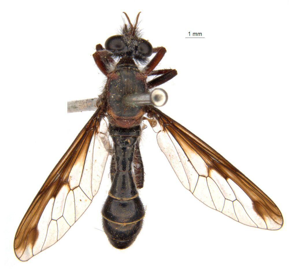 الذبابة الأرملة السوادء (Black Widow's fly: Daptolestes feminategus)