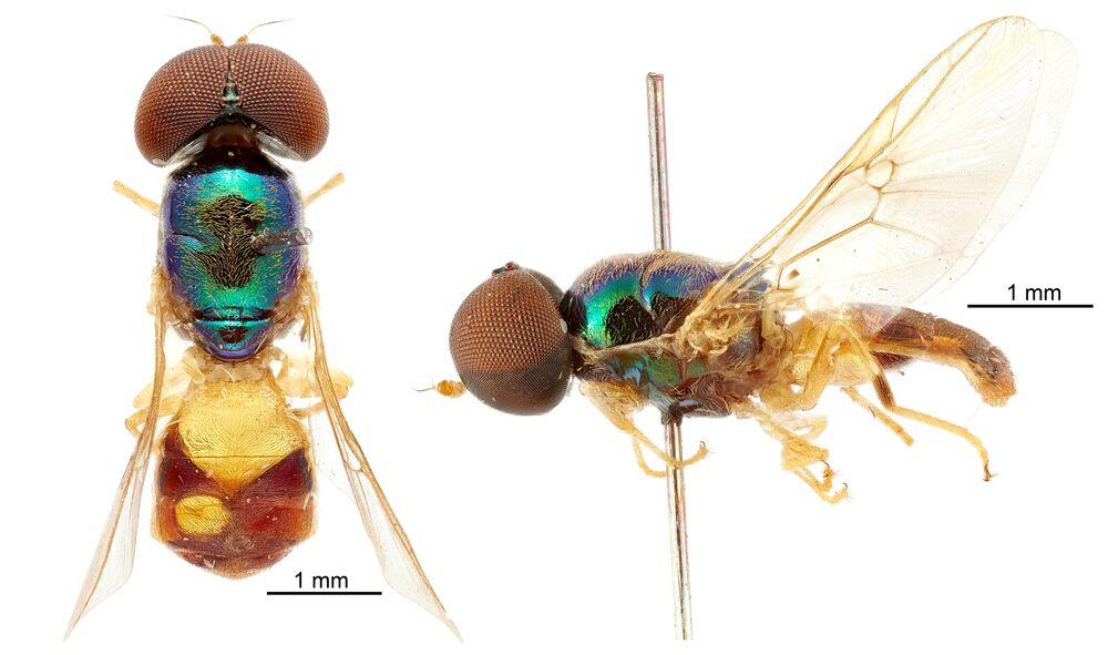 فصيلة جديدة من ذكر الذبابة الجندي (Soldier fly species Microchrysa wrightae)