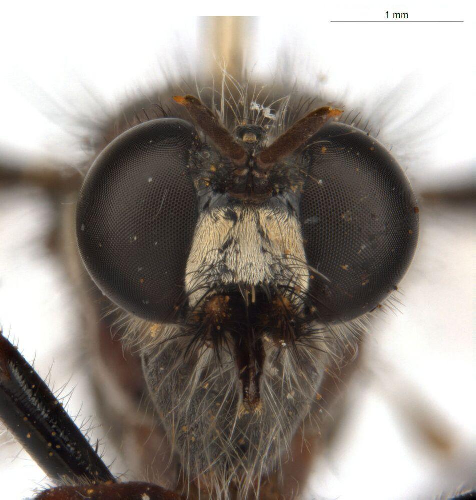 الذبابة لوكي (Loki's fly: Daptolestes illusiolautus)