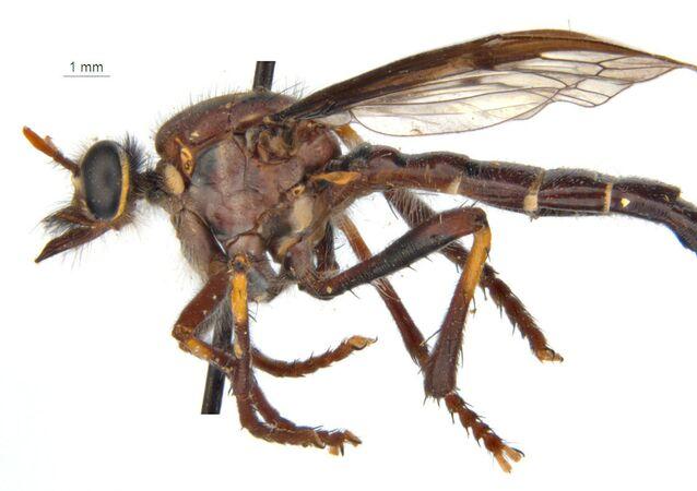 ذبابة ثور (Thor's fly: Daptolestes bronteflavus)