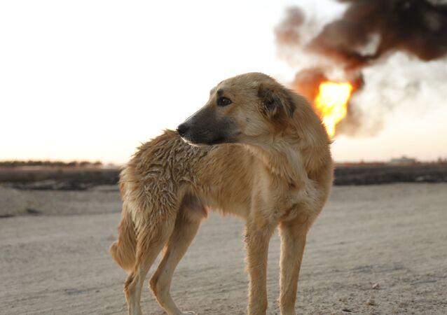 الكلب كروكوداي ضحية تفجير خط الغاز العربي شمال دمشق، سوريا