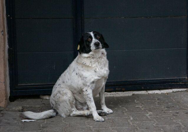 كلبة تدعى كوباتا في باتومي
