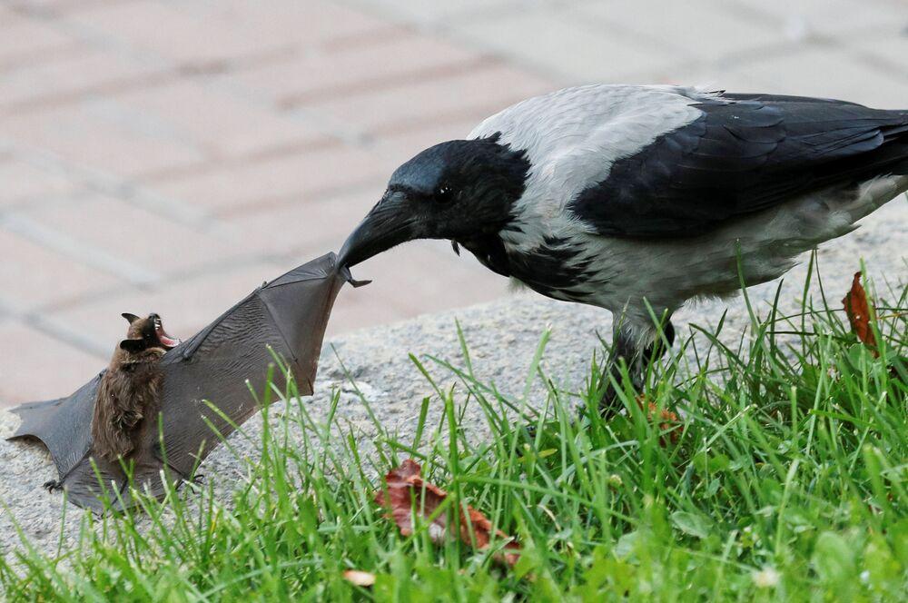 طائر الغراب يهاجم خفاشا في حديقة عامة وسط كييف، أوكرانيا 15 سبتمبر 2020