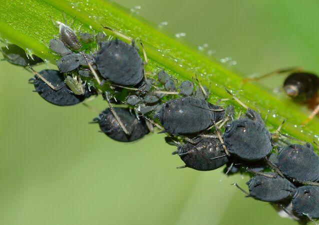 حشرات المن