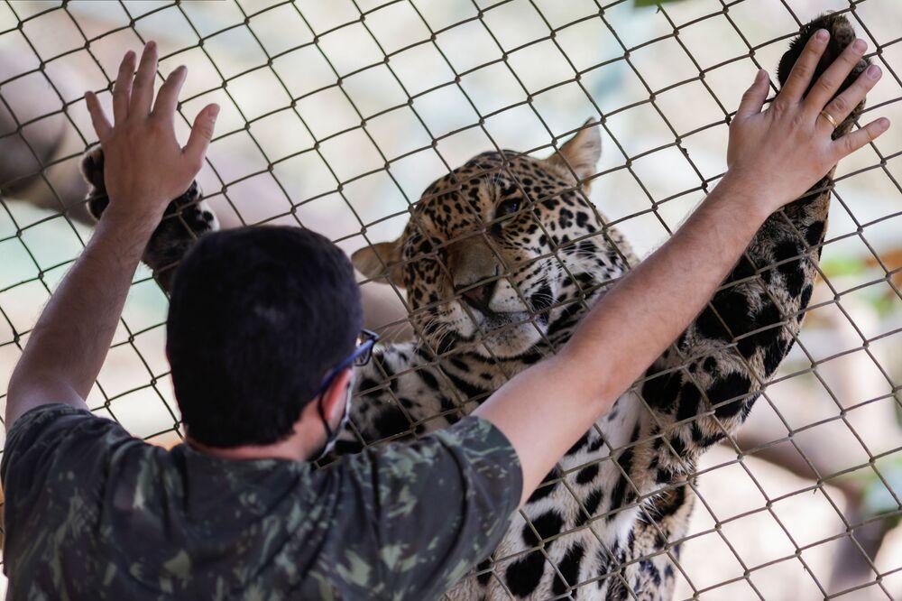 يغور (أو النمر الأمريكي) أثناء  أثناء تلقيه الرعاية البيطرية والغذاء والعلاج في مركز Nex Institute في كورومبا دي غويا، البرازيل 23 سبتمب 2020 19 سبتمبر 2020