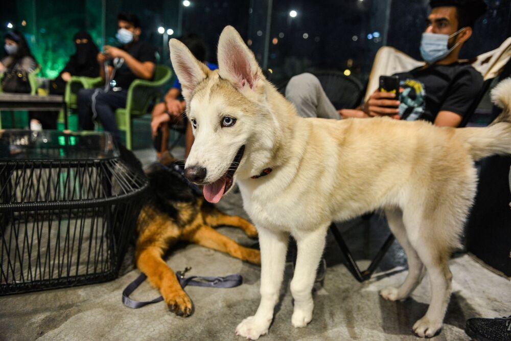 كلب هاسكي وكلاب الراعي الألماني في مقهى Barking Lot في مدينة الخبر، المملكة العربية السعودية 25 سبتمبر 2020