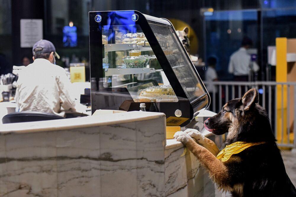 الكلب الراعي الألماني في مقهى Barking Lot في مدينة الخبر، المملكة العربية السعودية 25 سبتمبر 2020