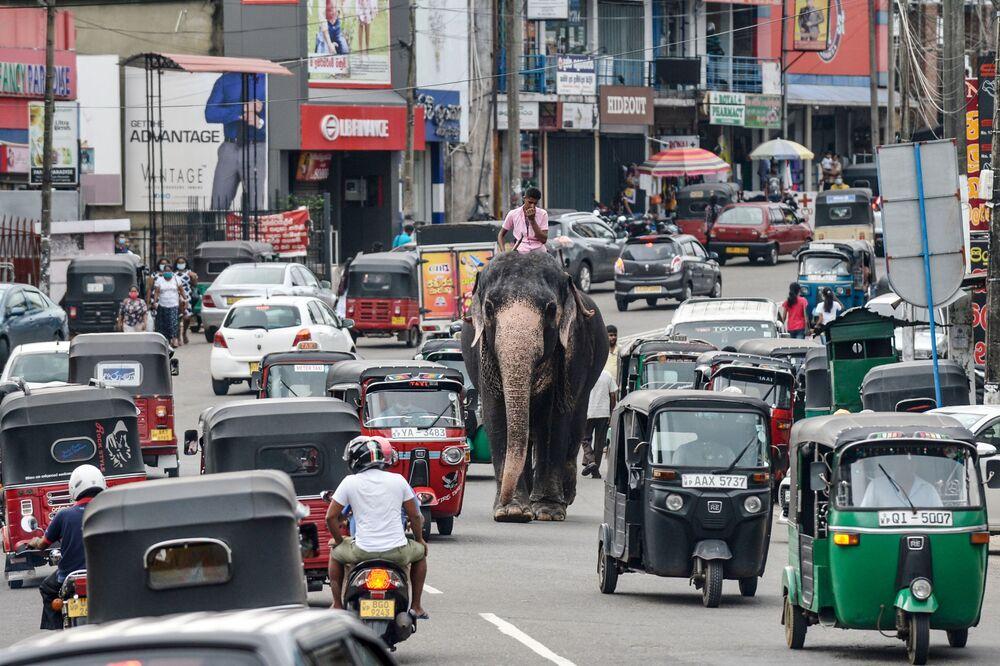 فيّال يقود فيلًا وسط حركة المرور في أحد شوارع بيلياندالا، إحدى ضواحي العاصمة السريلانكية كولومبو، 27 سبتمبر 2020
