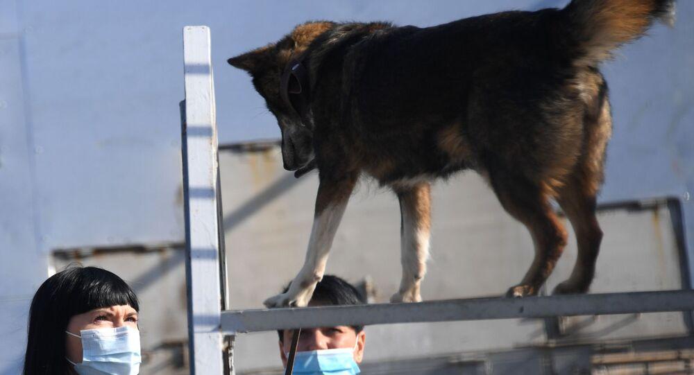 أخصائية الكلاب مع أحد كلاب الخدمة من سلالة سوليموف في قسم كلاب الشرطة في شركة الخطوط الجوية أيروفلوت في مطار شيريميتيفو، موسكو 2 أكتوبر 2020
