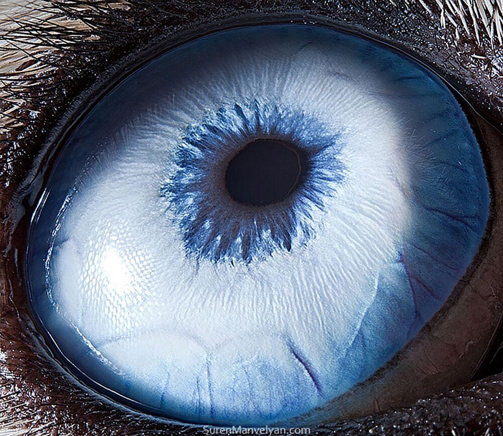 صورة مقربة لعين كلب من فصيلة هاسكي من قبل المصور سورين مانفيليان