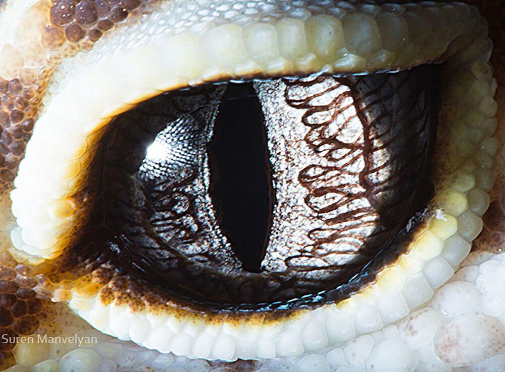 صورة مقربة لعين سحلية من فصيلة حقيقيات الجفن من قبل المصور سورين مانفيليان