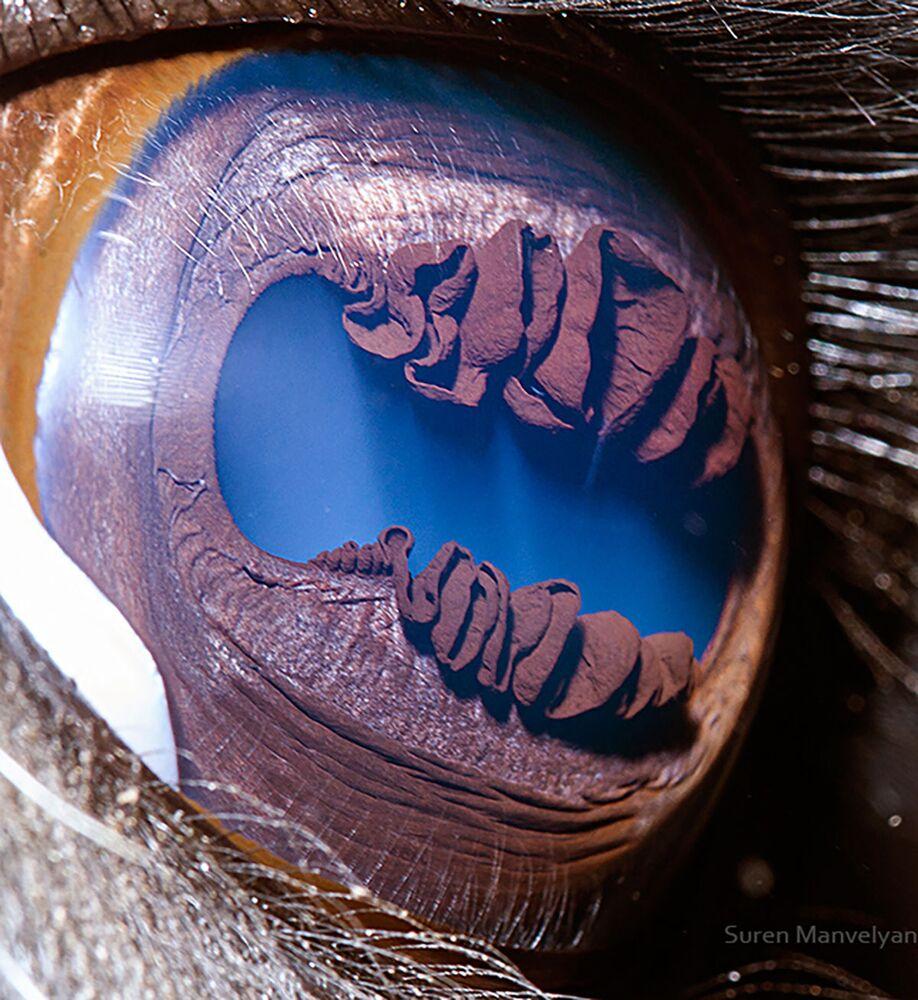 صورة مقربة لعين حيوان لاما من قبل المصور سورين مانفيليان