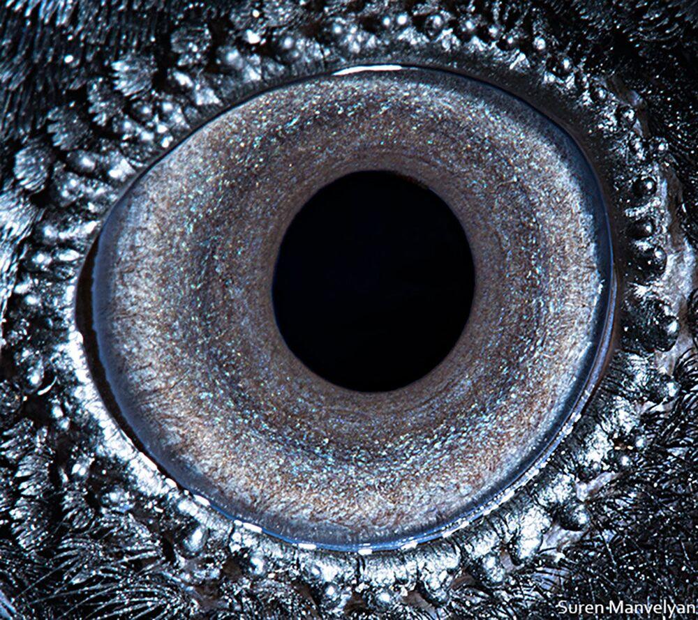 صورة مقربة لعين طائر الغراب من قبل المصور سورين مانفيليان