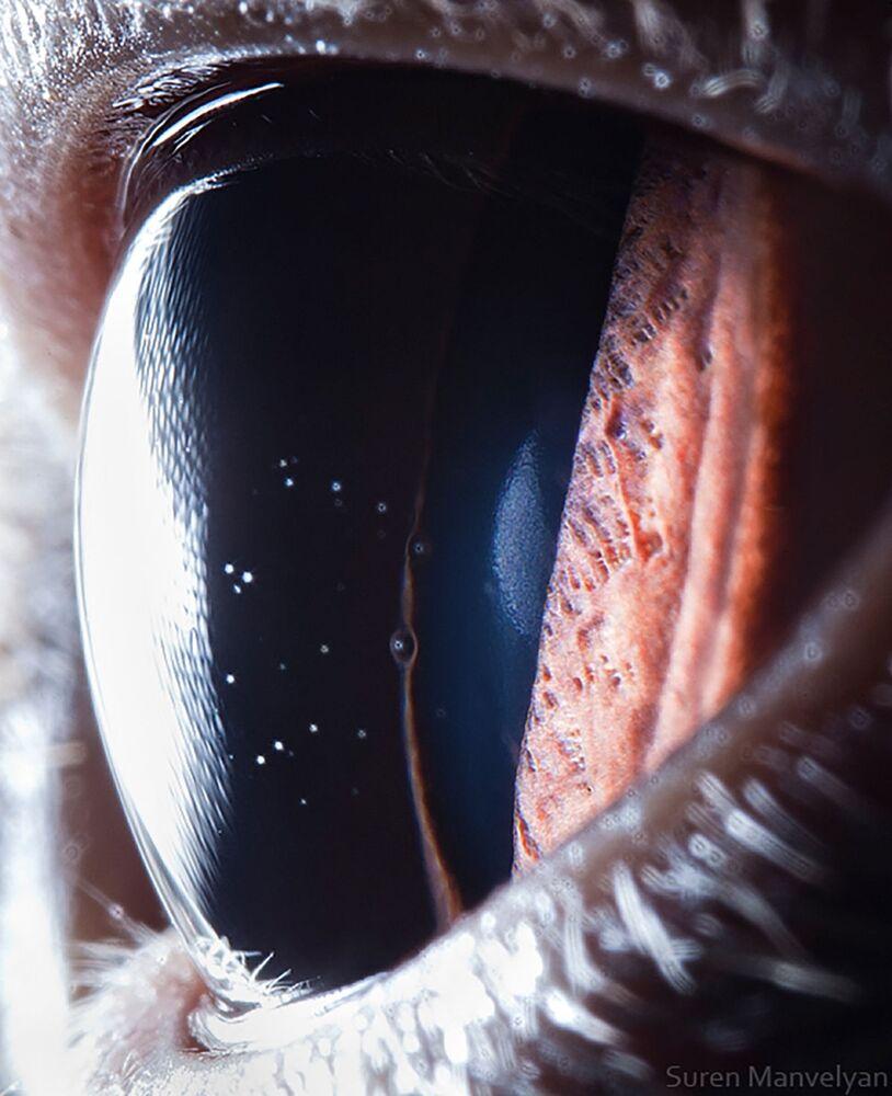 صورة مقربة لعين قط بريطاني قصير الشعر من قبل المصور سورين مانفيليان
