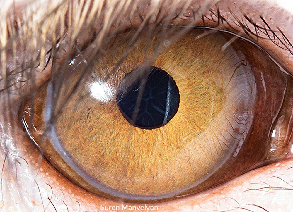 صورة مقربة لعين قرد من فصيلة مكاك ريسوسي من قبل المصور سورين مانفيليان