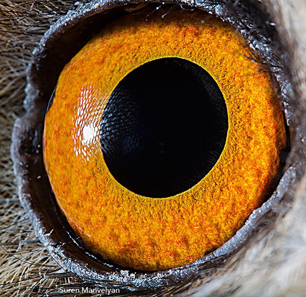صورة مقربة لعين طائر البوم طويل الأذنين من قبل المصور سورين مانفيليان