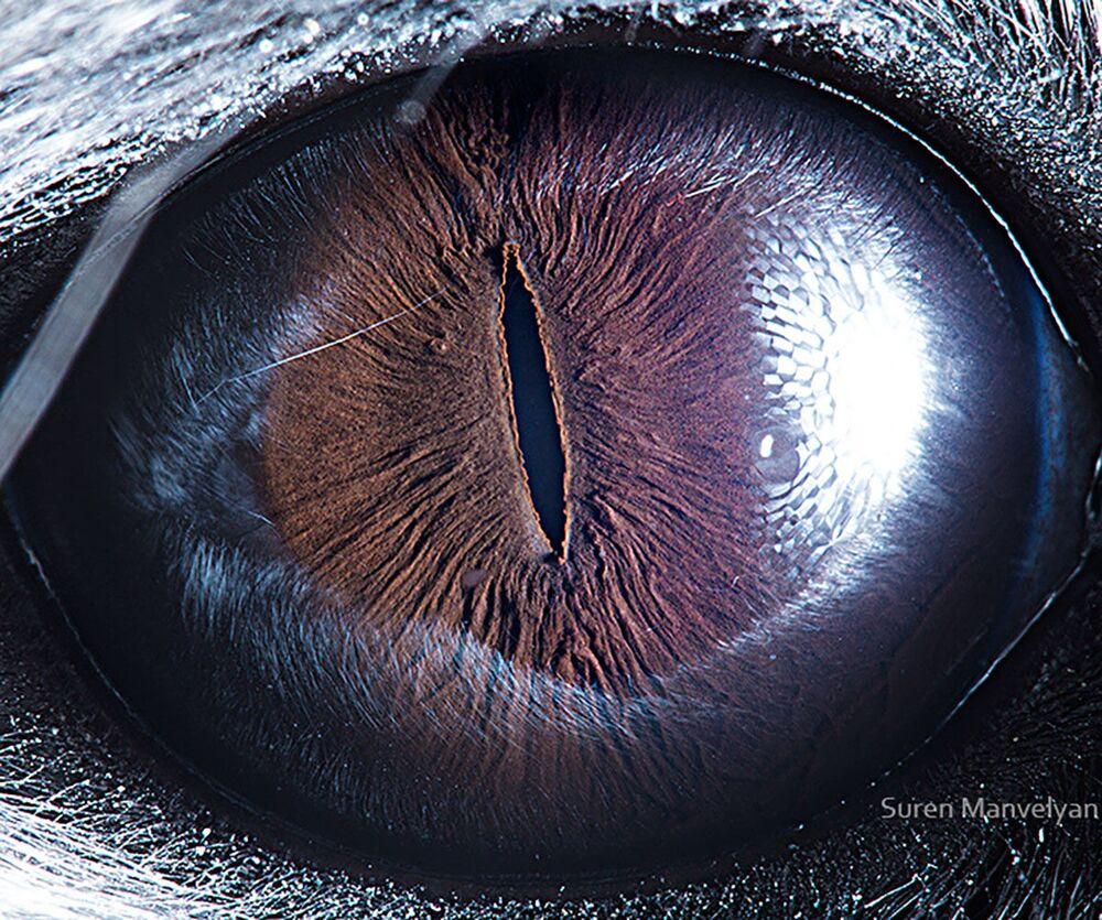 صورة مقربة لعين حيوان شنشيلة من قبل المصور سورين مانفيليان