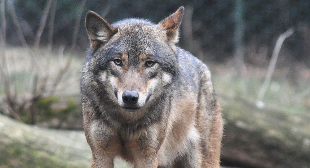 ذئب كندي
